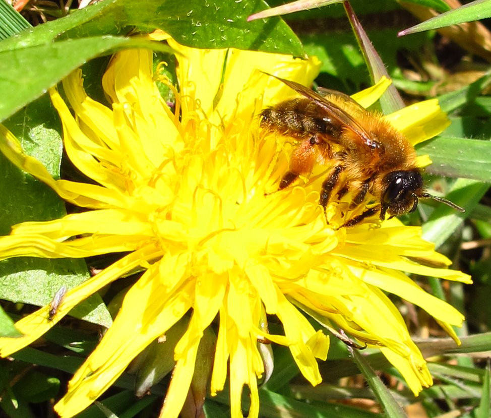 Andrena nigroaenea female on dandelion flower - Photo by Nigel Jones