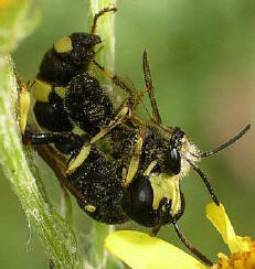 "A ""digger wasp"" Cerceris rybyensis with paralysed prey - a mining bee. Photo: Keith Balmer"